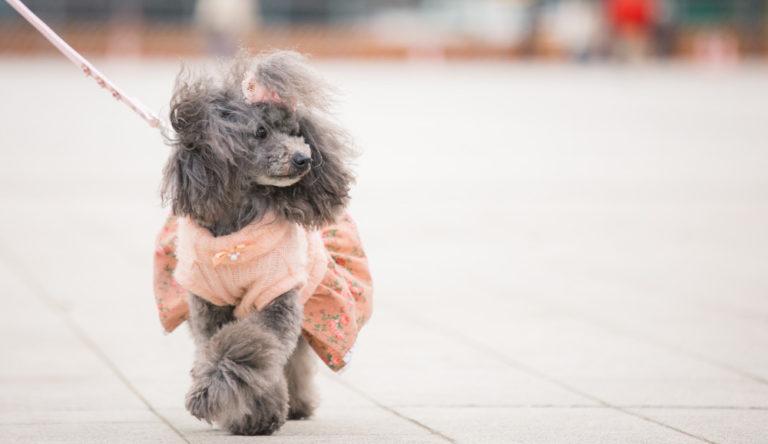 小型犬の区別って?